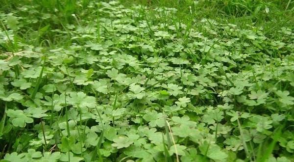 malas hierbas comestibles