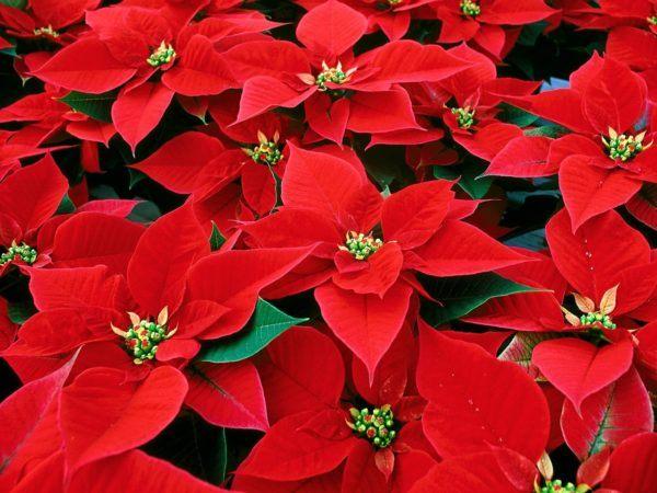 cuales-son-las-flores-de-invierno-flor-de-pascua