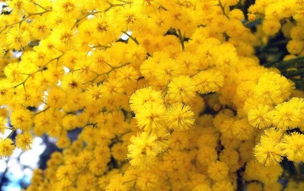 cuales-son-las-flores-de-invierno-mimosa