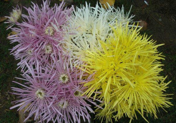 cuales-son-las-flores-de-otoño-crisantemo-araña