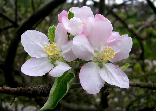 cuales-son-las-flores-de-otoño-flor-de-manzanos