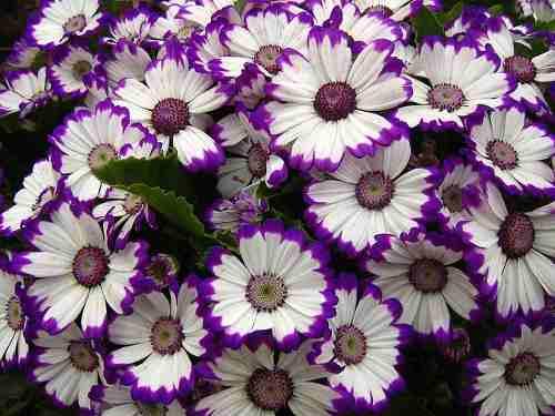 cuales-son-las-flores-de-primavera-cinerarias-anillo-morado
