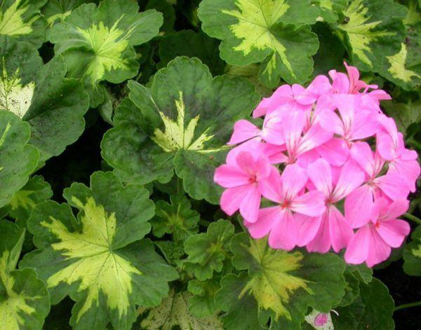 cuales-son-las-flores-del-verano-geranio