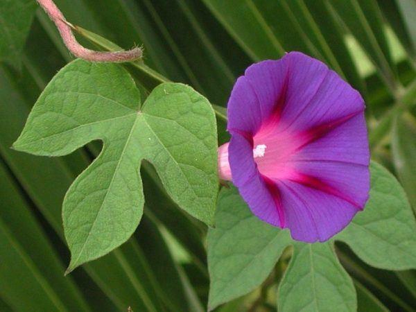 cuales-son-las-flores-del-verano-ipomeas