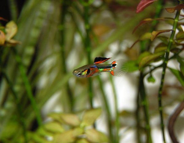 como-decorar-un-acuario-con-materiales-reciclados-pez-guppy