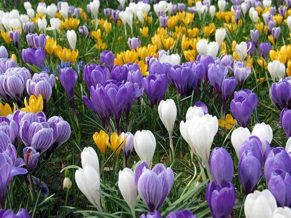 Flores de primavera azafranes
