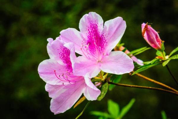 Flores de primavera azalea