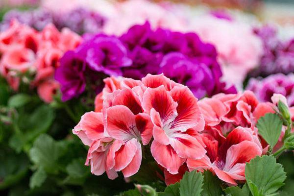 Flores de primavera geranios