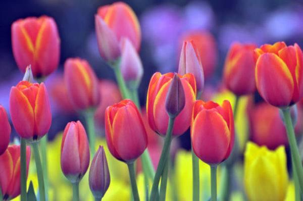 Flores de primavera tulipanes