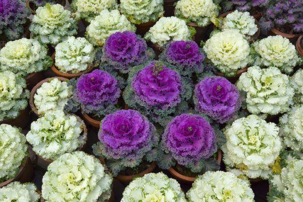 Plantas invierno coles ornamentales