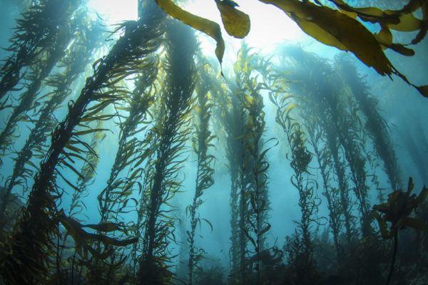 Cómo las algas aprovechan la energía solar