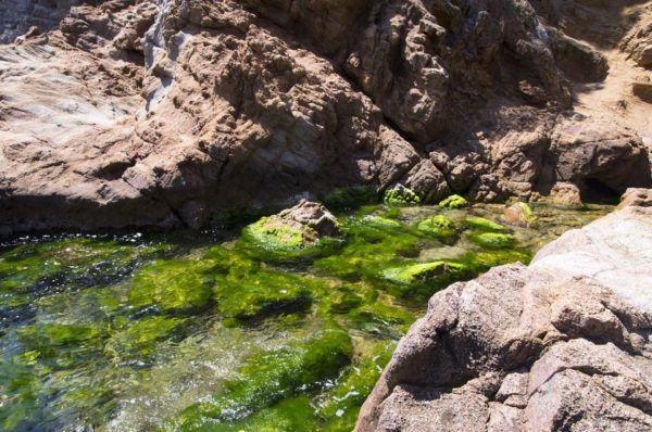 Algas verdes