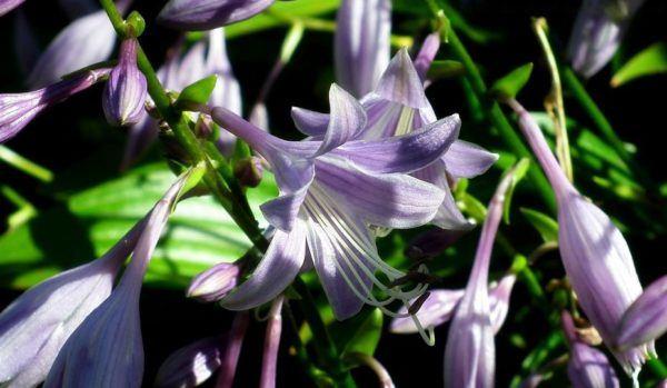 Flores de verano hosta