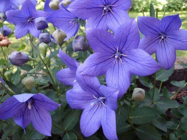 Flores de verano platydocon