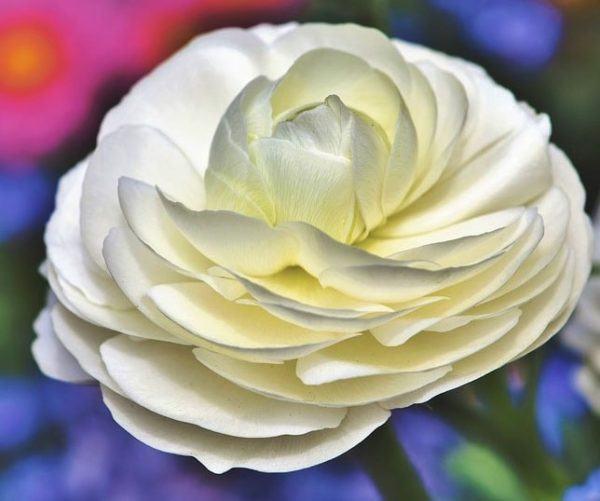 Flores de verano ranunculo