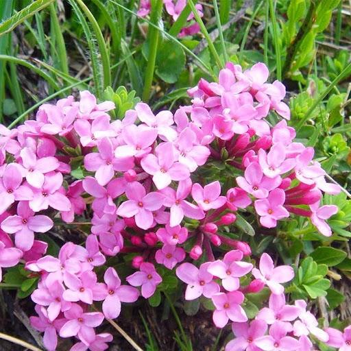 Cuales son las flores de invierno Torvisco de pirineos