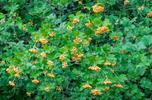 Cuales son las flores de invierno Viburnum