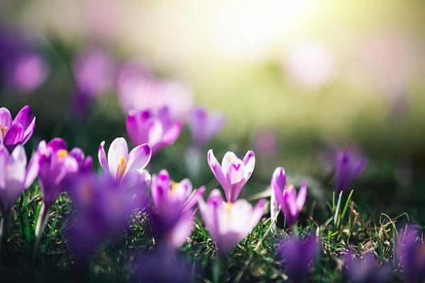 Cuales son las flores de invierno azafran 1