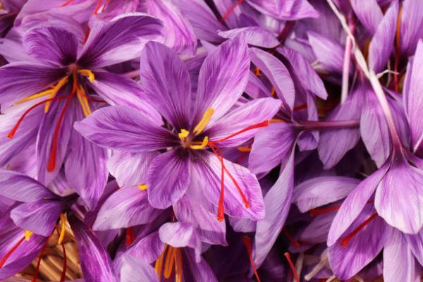 Cuales son las flores de invierno azafran