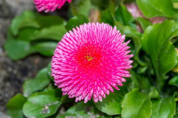 Cuales son las flores de invierno bellis
