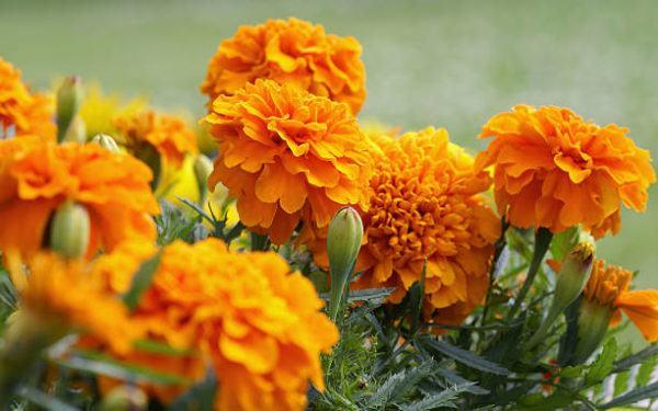 Cuales son las flores de invierno calendula