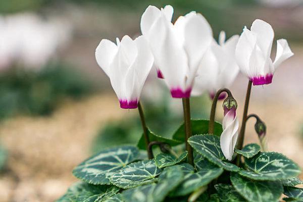 Cuales son las flores de invierno ciclamen