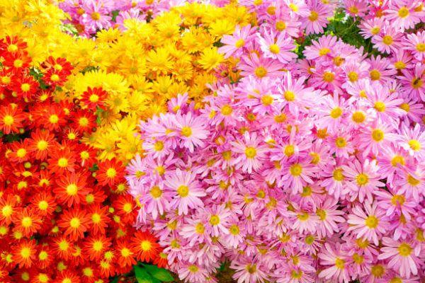 Cuales son las flores de invierno crisantemo 1