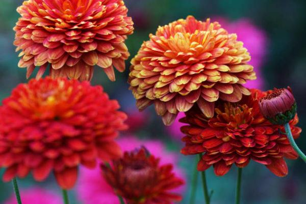Cuales son las flores de invierno crisantemo
