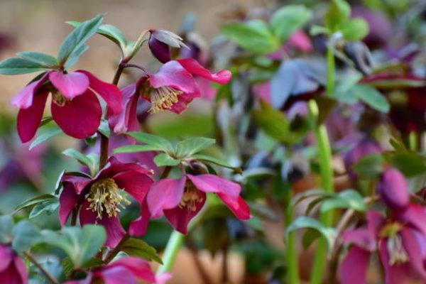 Cuales son las flores de invierno eleboro 1
