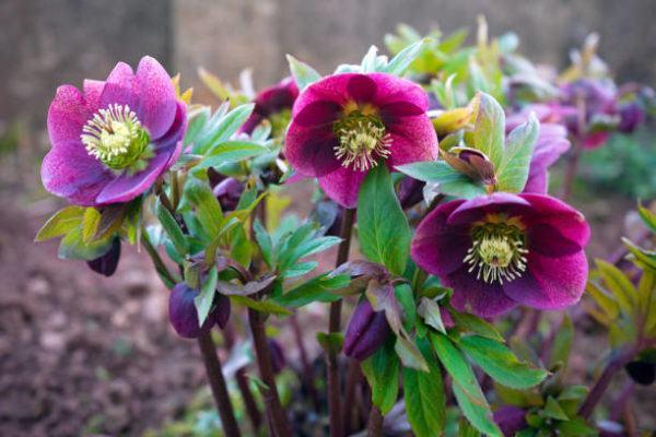 Cuales son las flores de invierno eleboro