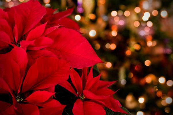 Cuales son las flores de invierno flor de pascua