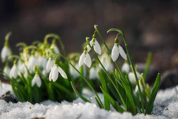 Cuales son las flores de invierno galanthus