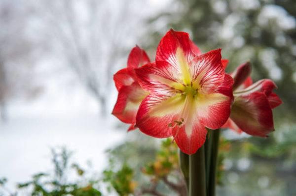 Cuales son las flores de invierno hippeastrum 1