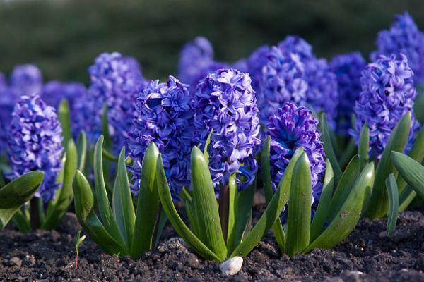Cuales son las flores de invierno jacinto