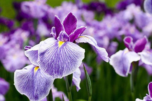 Cuales son las flores de invierno lirios 2