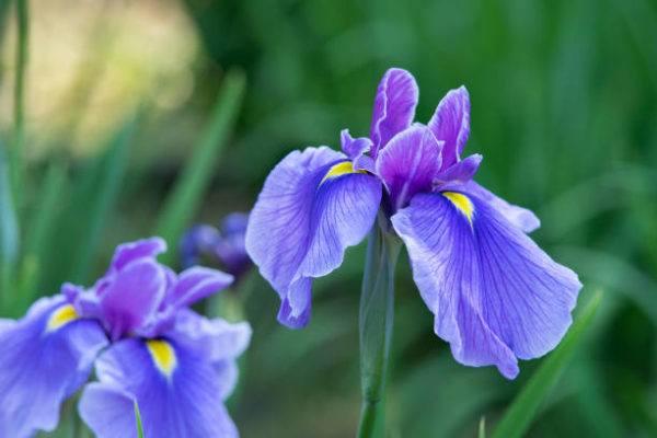 Cuales son las flores de invierno lirios