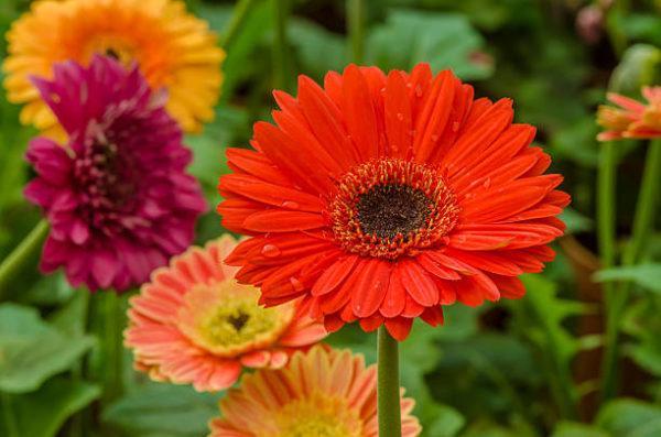 Cuales son las flores de invierno margarita africana
