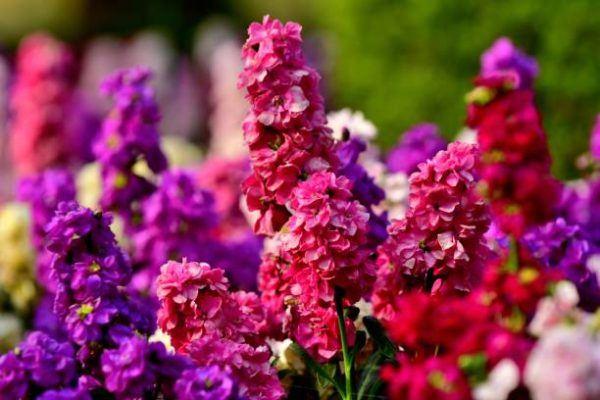 Cuales son las flores de invierno matthiola
