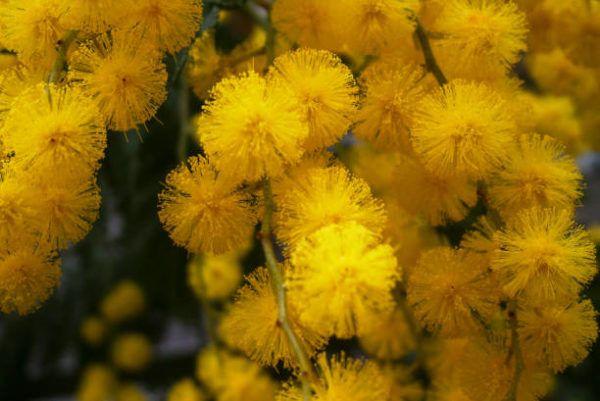 Cuales son las flores de invierno mimosas