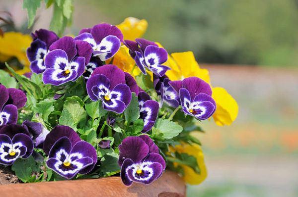 Cuales son las flores de invierno pensamiento