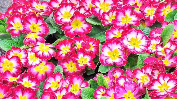 Cuales son las flores de invierno primaveras