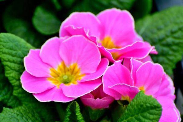 Cuales son las flores de invierno primula