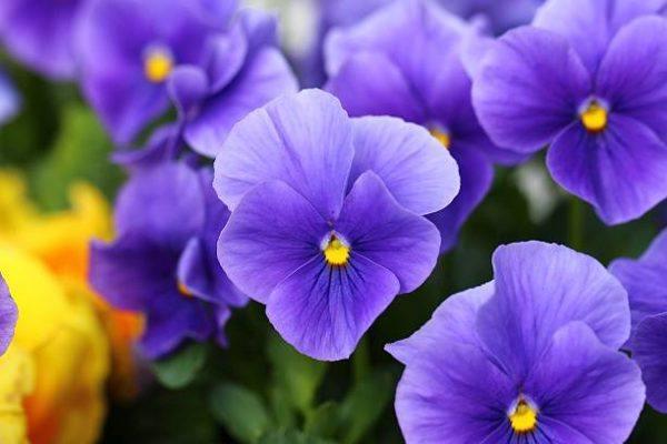 Cuales son las flores de invierno violas