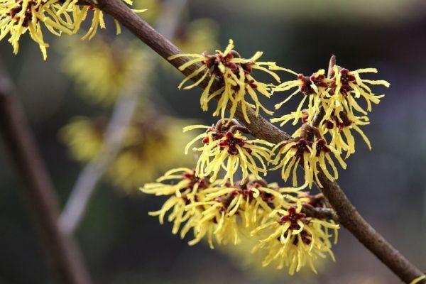 Cuales son las flores de otoño Arbusto hamamelis 2