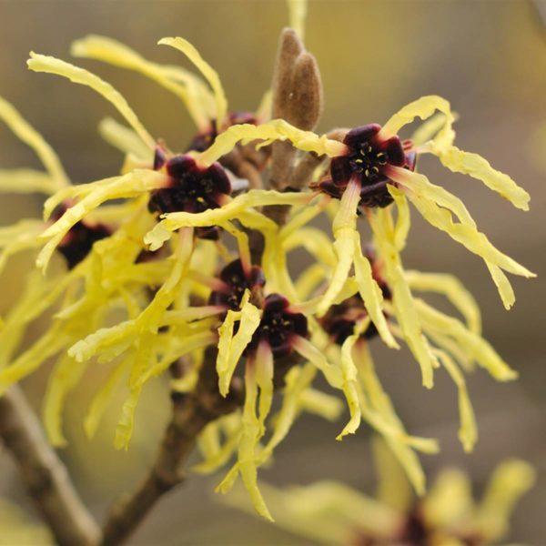 Cuales son las flores de otoño Arbusto hamamelis1