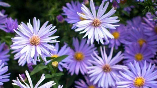 Cuales son las flores de otoño Aster