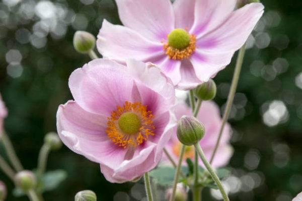 Cuales son las flores de otoño anemona 1