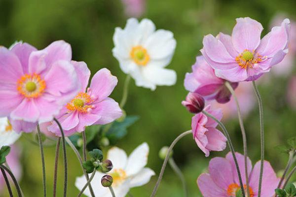 Cuales son las flores de otoño anemona 2
