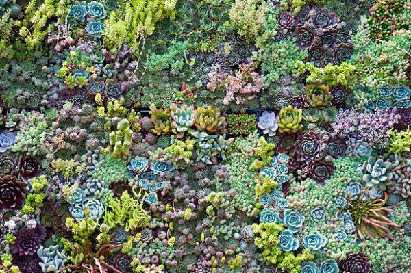 Cuales son las flores de otoño sedum 1