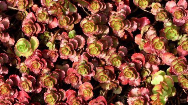 Cuales son las flores de otoño sedum 2